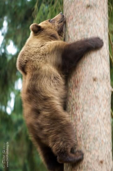 Braunbär klettert Baum hoch