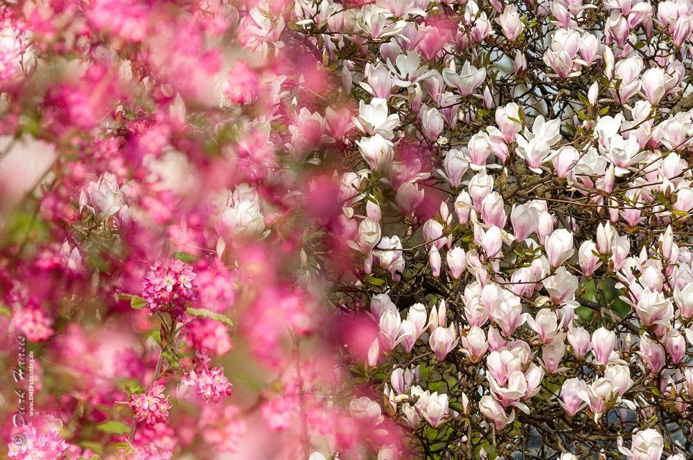 Blutjohannisbeere vor Magnolie - beide in voller Blüte
