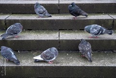 Taubenrunde auf Alstertreppe
