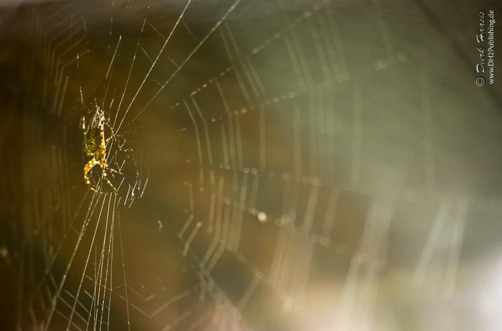 europäische Gartenspinne in ihrem Netz