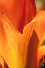 Closeup tulip