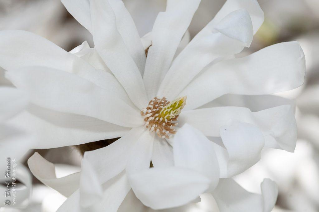 Star-Magnolia