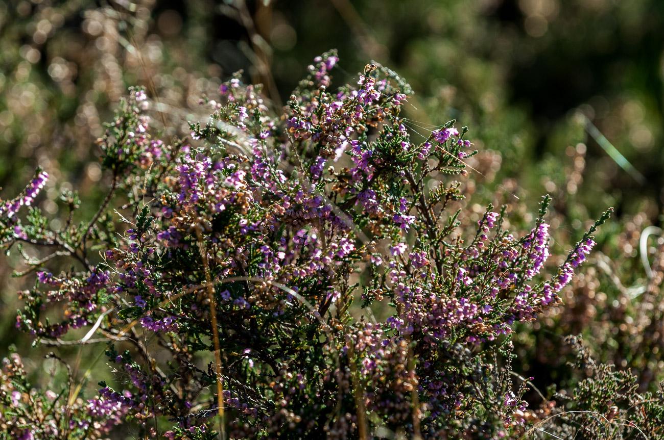 Violette Heide